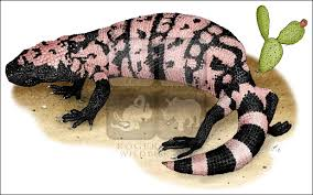gila monster heloderma suspectum line art and full color