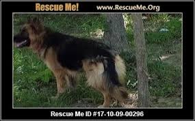 belgian shepherd rescue victoria north carolina german shepherd rescue u2015 adoptions u2015 rescueme org