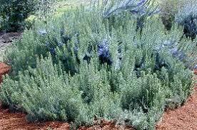 rosmarinus angustifolius pine scented rosemary