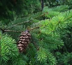 douglas fir tree douglas fir tree for sale fast growing trees