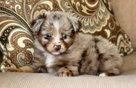 australian shepherd puppies 7 weeks blue horizon toy australian shepherds