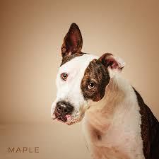 belgian sheepdog houston tx houston tx boxer meet maple a dog for adoption
