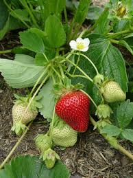 Strawberry Plant Diseases - researchers develop organic disease controls for strawberry