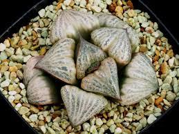 plats cuisin駸 多肉植物 ハオルチア スプレンデンス 花園 親苗 suculentas 2