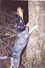 bluetick coonhound treeing ukc forums monkey face bluetick history