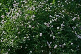 the graceful gardener u201cplanting roses makes common scents u201d