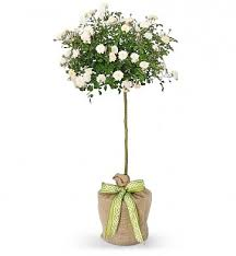 Topiary Plants Online - white rose topiary plants u003cp u003eloaded with snowy white