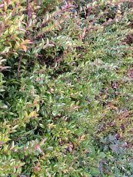 native hedging plants oregon coast gardener coastal landscape planning hedges