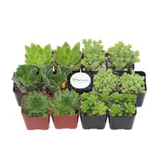 succulents u0026 cactus plants garden plants u0026 flowers the home depot