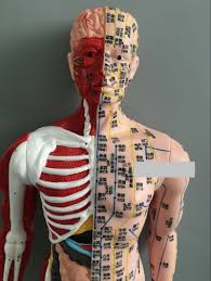 Male Internal Organs Anatomy 85cm Acupuncture Acupoints Anatomy Model Male Musculoskeletal