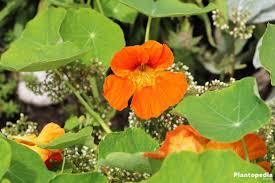 nasturtium flower nasturtium flower tropaeolum how to grow and care plantopedia