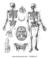 human skeleton stock images royalty free images u0026 vectors