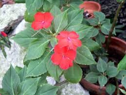 impatiens flowers impatiens propagation how to root impatiens cuttings