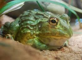 frog skin offers disease clues