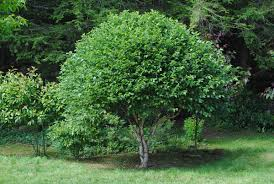ornamental trees and shrubs flying trillium gardens preserve
