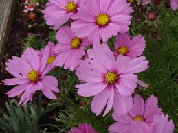 Cosmos Flower Essence - new information on my site energy is magic