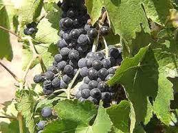 in worship of trees vine