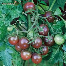 get cheap edible tomatoes aliexpress alibaba