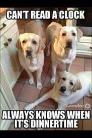 Black Lab Meme - funny yellow and black lab jokes pug jokes