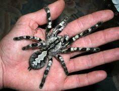 hysterocrates hercules or goliath baboon molted skin tarantulas
