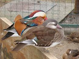 free images wing animal wildlife beak color fauna duck