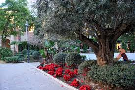 murcia today imaginative pruning of olive trees in murcia city
