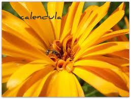 Calendula Flowers Benefits Of Calendula