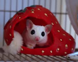 10 reasons why sugar gliders should not be kept as pets pethelpful