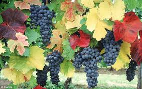 on the grapevine decorative as well as productive a vine can be