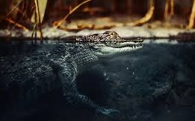 91 crocodile hd wallpapers background images wallpaper abyss