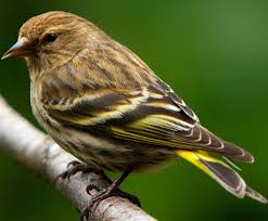 pine siskin birds all pinterest siskin bird and beautiful