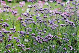 Verbena Flower Verbena Bonariensis Gardenersworld Com