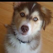 australian shepherd husky puppy 20 best future husky images on pinterest animals husky mix and