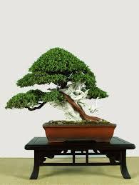 pot bonsai design the art of bonsai project judging bonsai