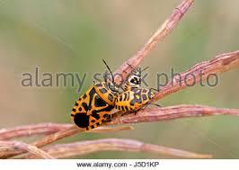 was ist das für ein insekt eine wanze oder was urlaub insekten insects bug bugs wanzen larven insekten wanzen wanze wanzenlarven