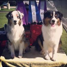 australian shepherd quirks fyrelight australian shepherds happenings blog