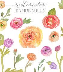 Ranunculus Watercolor Clip Art Watercolor Ranunculus