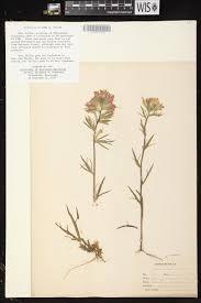 plants native to wisconsin online virtual flora of wisconsin castilleja coccinea