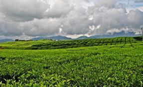 Teh Kayu Aro perkebunan teh kayu aro keindahan perkebunan teh tertua di