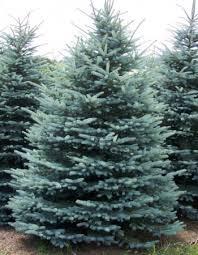 live christmas tree living blue spruce christmas tree living blue spruce christmas tree