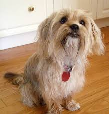 pictures of shorkie dogs with long hair shorkie puppies glamorous pooch puppies for sale