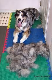 australian shepherd how much the healthy dog australian shepherd medium haircut