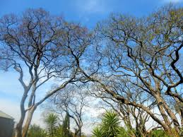 oldest trees in johannesburg the heritage portal