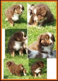 5 week old mini australian shepherd jessie u0027s litter 2 pup6 blue eyed bet red tri female miniature