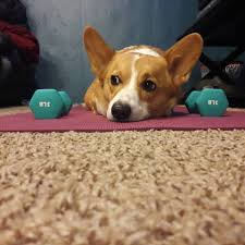 corgi corgi addict home facebook