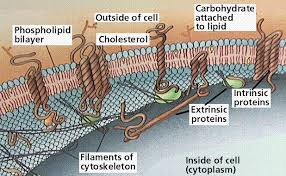 transport in and out of cells