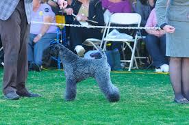 affenpinscher joey dog show 2012 01 08