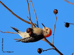 Delaware birds images Birdline delaware thermal birding jpg