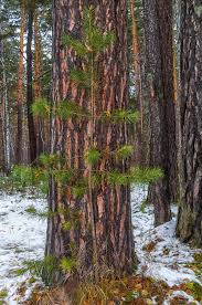free images wilderness snow cold trail leaf trunk pine