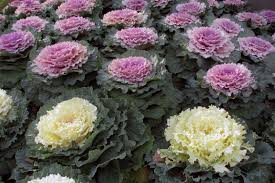 autumn s ornamental kales and cabbages watters garden center
